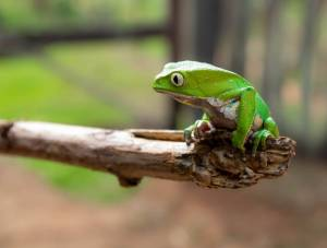 close up photo of green frog